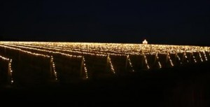 Wolffer lighting vines